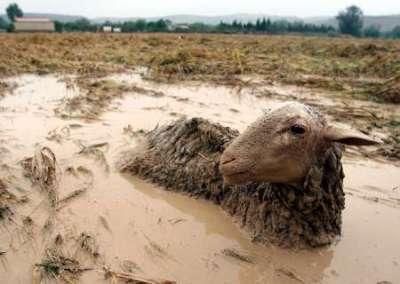 muddysheep
